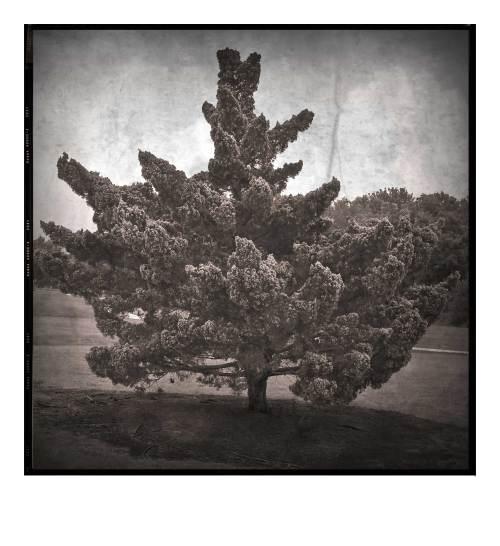 Quail-Creek-Tree